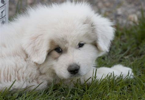 pyrenees puppies great pyrenees puppies for sale akc puppyfinder
