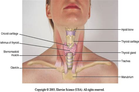 diagram of muscles in the neck image gallery neck diagram