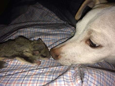 meet biscuits  newborn flying squirrel rescued   searing florida sun animals zone