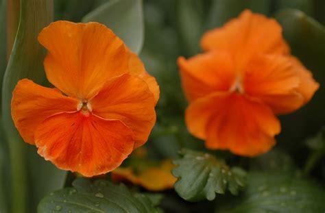 imagenes flores naranjas flores de pensamientos naranjas im 225 genes y fotos