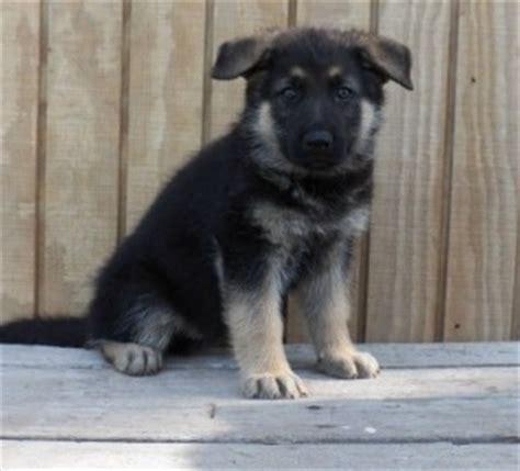 puppies lincoln ne dogs lincoln ne free classified ads