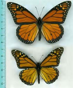 butterfly colors monarch butterflies shrink get paler after skipping a