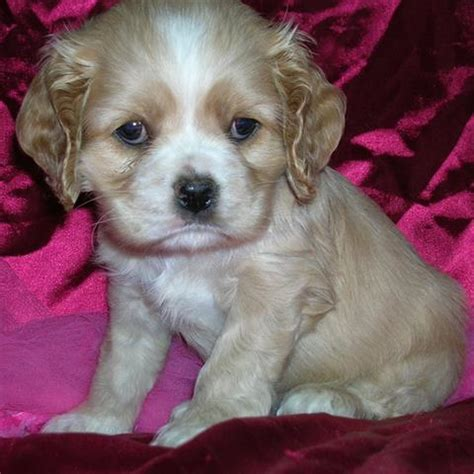 cocker spaniel puppies wi puppies for sale in wisconsin petsale inc