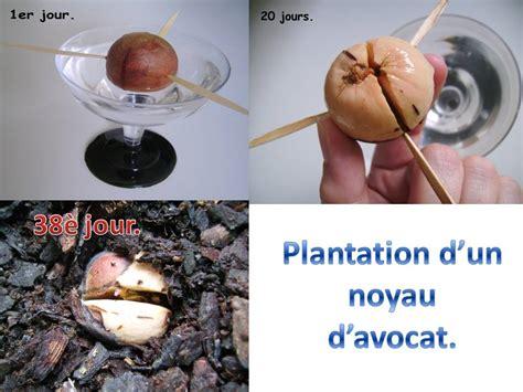 Comment Faire Pousser Un Avocat Avec Un Noyau by Plantation D Un Noyau D Avocat