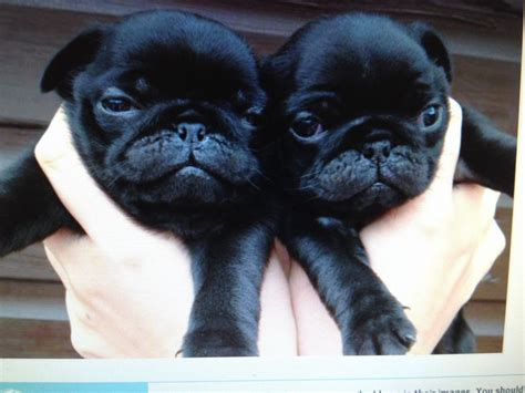 pug cross puppies wanted pug pug cross puppy berkeley gloucestershire pets4homes