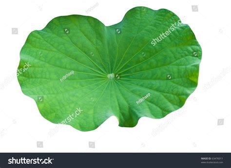 health benefits of lotus leaf image gallery lotus leaves
