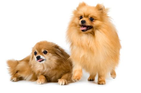 pomeranian brush how to brush a pomeranian with a matted coat pets