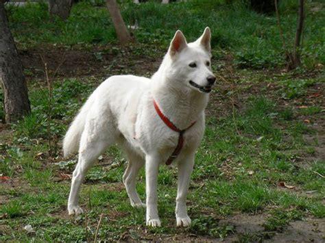 jindo dogs korean jindo
