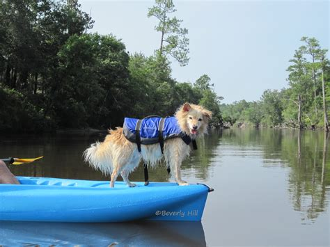 kayak for dogs dogs that like kayaks related keywords dogs that like