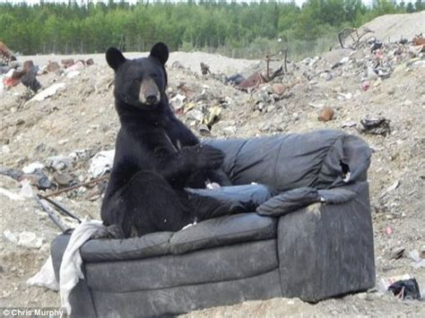where can i dump my old sofa black bear reclines on sofa in manitoba rubbish dump