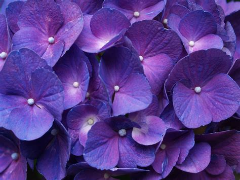 hydrangea purple wallpapers 2560x1920 2903134