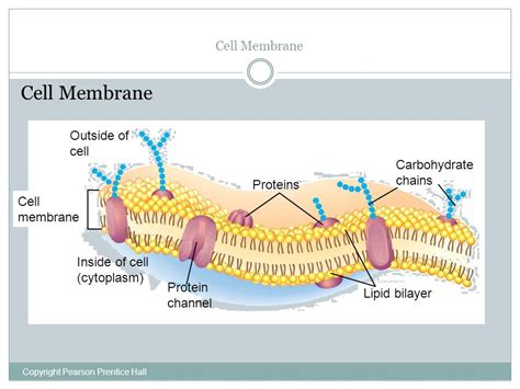 carbohydrates function in cell cell boundaries active and passive transport ppt