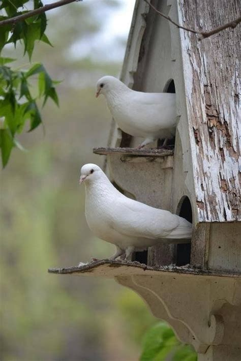 white doves sitting checking   day pictures