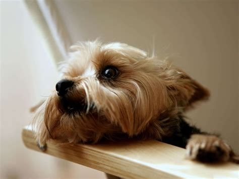 silkshire yorkie 17 best ideas about silky terrier on terrier puppies