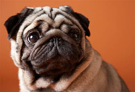 how does pugs live lived breeds in pictures labradors poodles beagles and more