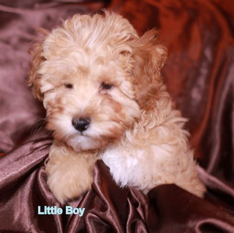 goldendoodle puppy adoption home how to adopt