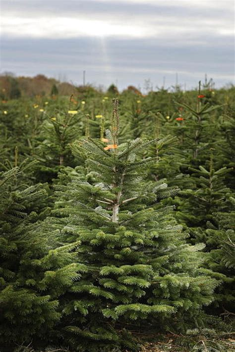 christmas tree drop off sites open