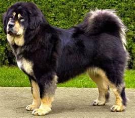 belgian sheepdog weight tibetan mastiff the life of animals