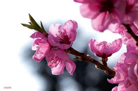 battisti fiori rosa fiori di pesco fiori rosa fiori di pesco fiori rosa fiori di