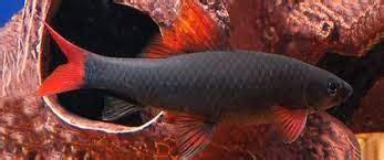 Makanan Ikan Cupang Lumut ornamental fish jual ikan hias redfin rainbow
