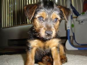 types of yorkies what of yorkie is zack yorkietalk forums terrier community