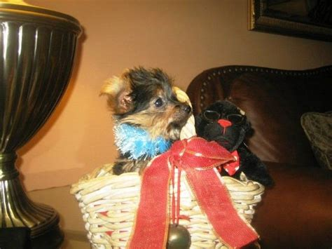 yorkie puppies for sale in broward county 2 yorkie puppies for sale adoption from ft lauderdale florida broward adpost