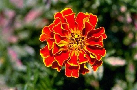 Most Common Garden Flowers Common Garden Flowers As Herbal Remedies Infobarrel