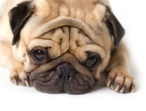 why pugs 14 reasons why pugs are the best breed