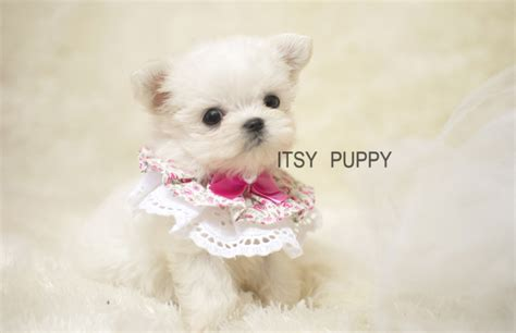 micro teacup maltese puppies for sale pin teacup maltese for sale puppies tiny micro on