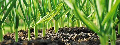 piantare aglio in vaso piantare l aglio nell orto cose di casa