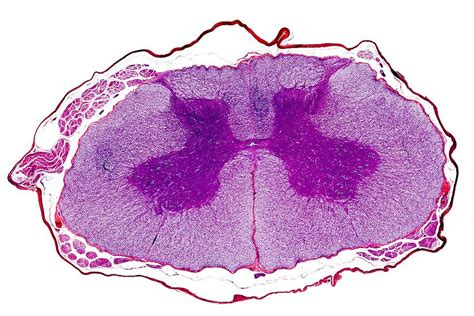 transverse section of the spinal cord spinal cord transverse section photograph by dr keith wheeler