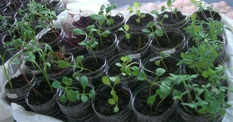 Benih Biji Bibit Parsley Giants Of Italy catatan kebun mungil semaian herbs dan sayuran