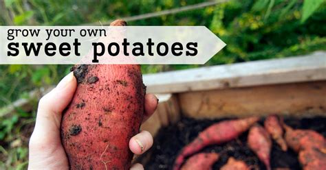 grow your own sweet potatoes outlaw garden starting your own vegetable garden grow your own sweet