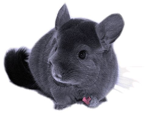 cute male female chinchilla names funny white grey others chinchilla care facts