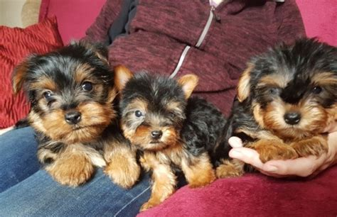 yorkie puppies fort lauderdale dogs puppies for sale classifieds in fort lauderdale yorkie puppies husky