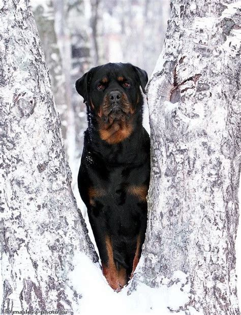 rottweiler in snow rottweiler you lookin at me puppy photo ideas