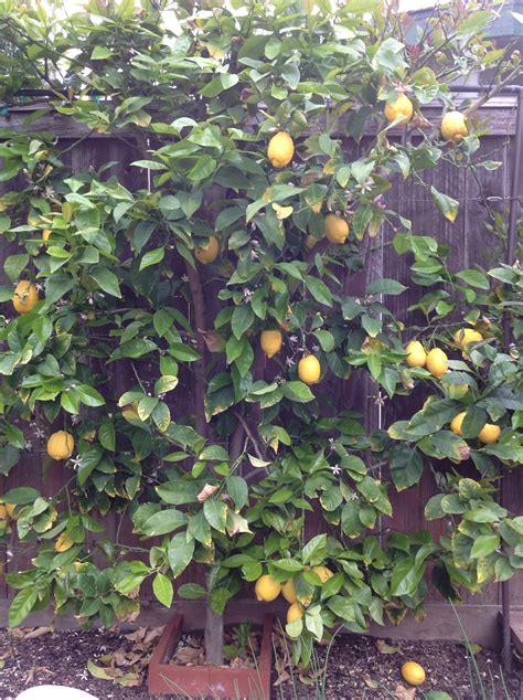 backyard lemon tree posts tagged citrus fruit vegetable preservation