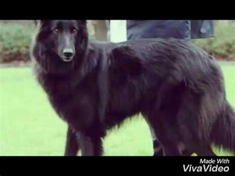 Lop Noir chien loup noir