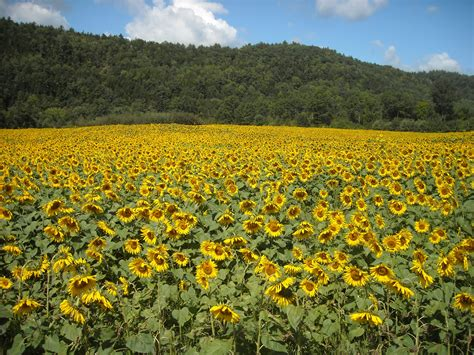 sunflower farm top health benefits of sunflower seeds hb times