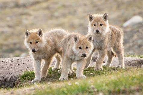 arctic wolf puppies wolf pups images