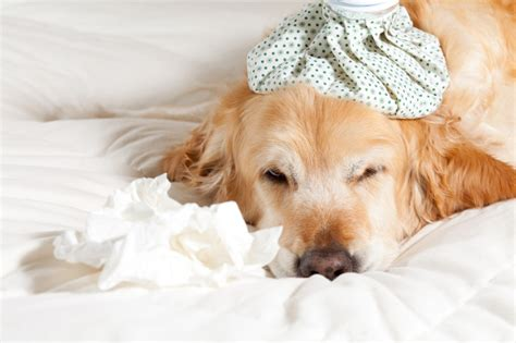 symptoms of roundworms in dogs roundworms in dogs and its side effects and its treatment