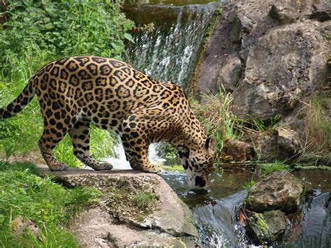 endangered species jaguar an endangered species jaguars in america
