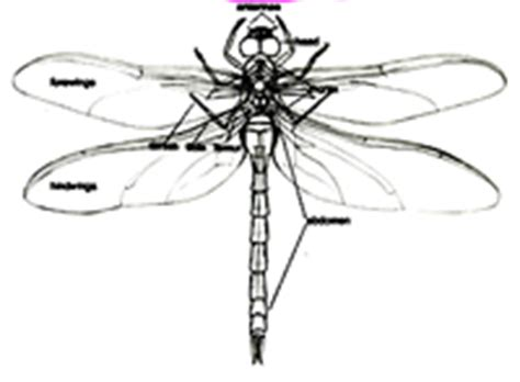 dragonfly anatomy diagram dragonfly parts diagram pictures to pin on