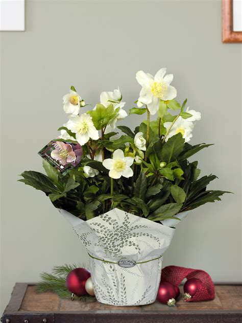 christmas rose helleborus send  potted plant gardener