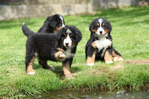 bernese mountain cost bernese mountain breed information buying advice photos and facts pets4homes