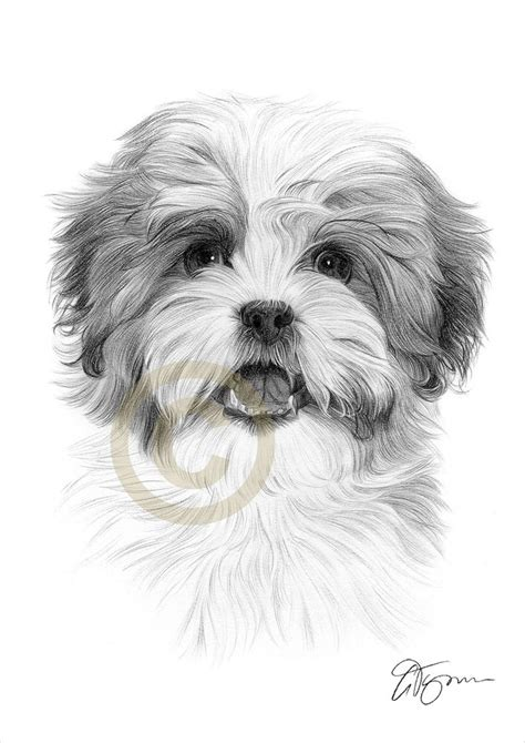 how to draw a shih tzu shih tzu a4 size signed pencil drawing artwork print pet portrait ebay