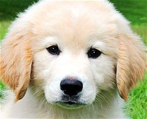 looking for a golden retriever puppy to adopt golden retriever puppies for adoption 15 questions to ask