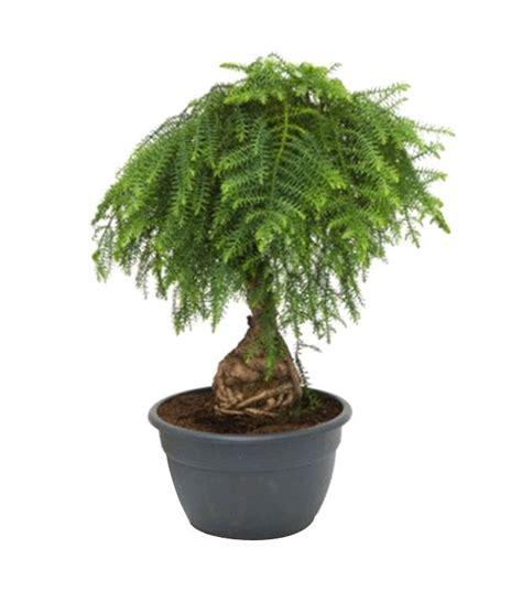 Instant Bonsai Just Remove Genes by Nurturing Green Araucaria Bonsai Buy Nurturing Green