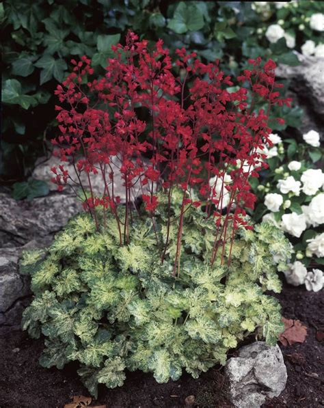 coral bells heuchera hercules the green white blend on the leaves is truly beautiful mine looks as