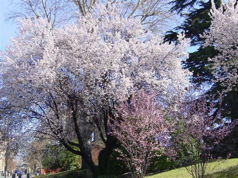 mandorlo da fiore prunus